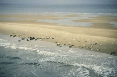 harbour seals on sand