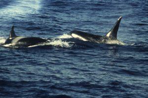 Killer whales (SMRU)