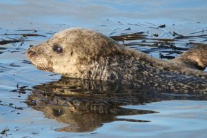 Harbour seal (Monica Arso)