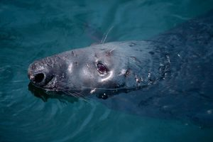Male grey seal (Laurie Campbell)