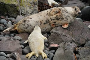 Grey seal pup suckling (Laurie Campbell)