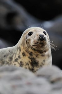Female grey seal with pelage markings (Laurie Campbell)