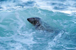 grey seal 3495 L.Campbell