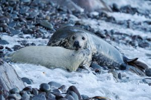 Grey seal female and pup (Laurie Campbell)