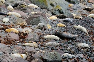 Grey Seal (Halichoerus grypus) breeding colony on rocky beach, Aberdeenshire, Scotland, October