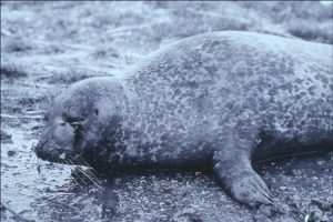 Harbour seal with phocine distemper (SMRU)