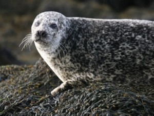 Harbour seal (Louise Cunningham)