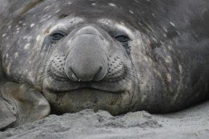 Elephant Seal (Martin Buiw)
