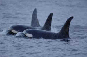 Killer whales (Patrick Miller)