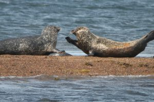 Harbour seal interactions (Monica Arso)