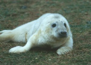 Grey seal pup (Ailsa Hall)