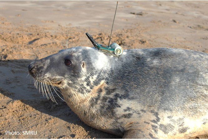 Grey seal with GPS tag