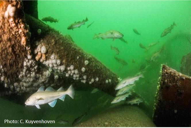 Cod around a North Sea oil rig